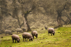 Free Iberian Pig In The Meadow Royalty Free Stock Photo - 30908975