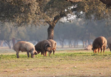 Iberian pig in the meadow Royalty Free Stock Photo