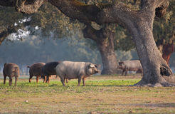 Iberian pig in the meadow Stock Photos