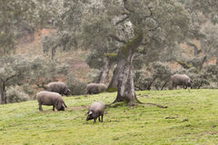 Iberian pig in the meadow Royalty Free Stock Images