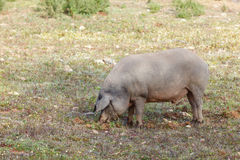 Iberian pig in the meadow, Spain Royalty Free Stock Photos