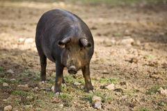 Iberian pig in the Valle de los Pedroches, Cordoba Royalty Free Stock Photo