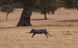 Iberian piggy running in the field royalty free stock photography
