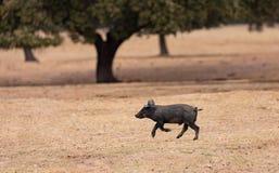 Iberian piggy running among the oaks stock photography