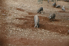 Iberian pigs digging. Cumbres mayores. huelva royalty free stock photography
