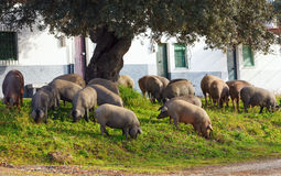 Iberian pigs eating acorns under an oak near some houses, Spain Stock Photos