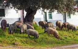 Iberian pigs eating acorns under an oak near some houses, Spain Stock Photos