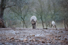 Iberian pigs eating Royalty Free Stock Images