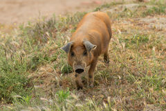 Iberian pigs grazing. In the Extremadura landscape in Spain Stock Photos