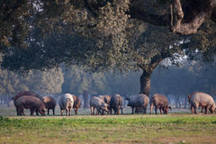Iberian pigs grazing in the landscape Stock Photos