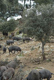 Iberian pigs in the pasture. Some iberian pigs eating acorn from the trees in the pasture stock images