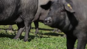 Iberian pigs pasturing in the Spanish countryside stock video footage
