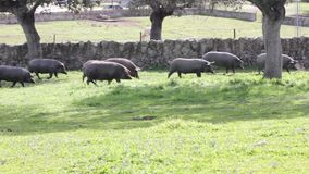 Iberian pigs pasturing in the Spanish countryside stock footage