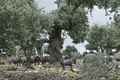 Iberian pigs in their environment. Some iberian pigs eating acorn from the trees Royalty Free Stock Photos