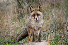 Iberian Red fox Stock Images