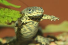 Iberian ribbed newt Stock Images