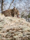Iberian slicka för lodjur som (lodjurpardinus) är dess, tafsar Arkivfoton