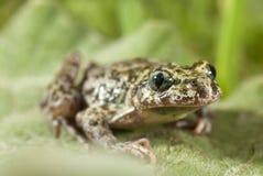 Iberian speckled sapillo Pelodytes ibericus, amphibian royalty free stock photo