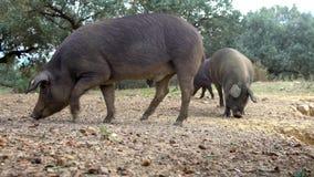 Iberian svin för svart som 4K äter ekollonen i fältet Extremadura Beta för svinflock lager videofilmer