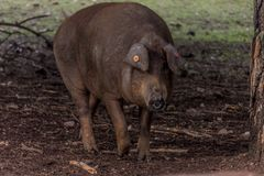 Iberian svin i fältet royaltyfria foton