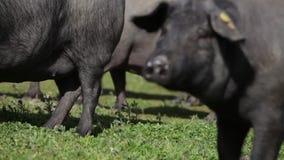 Iberian svin som betar i den spanska bygden lager videofilmer