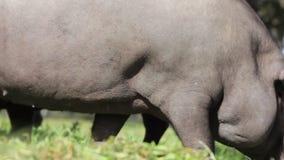 Iberian svin som betar i den spanska bygden arkivfilmer