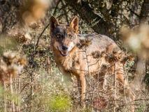 Iberian varg med härliga ögon i sommar Arkivfoton