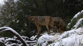 Iberian varger stock video