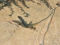 Iberian wall lizard on the ground, Spain. Iberian wall lizard on the ground in the Cabo de Gata Natural Park, Spain royalty free stock image