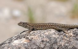 Iberian wall lizard, Podarcis hispanica. On a rock. Photo taken next to the Minchones Stream, in the region of La Vera, Caceres, Extremadura, Spain royalty free stock photo