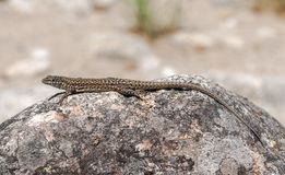 Iberian wall lizard, Podarcis hispanica. On a rock. Photo taken next to the Minchones Stream, in the region of La Vera, Caceres, Extremadura, Spain stock images
