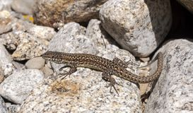 Iberian wall lizard, Podarcis hispanica. On a rock. Photo taken next to the Minchones Stream, in the region of La Vera, Caceres, Extremadura, Spain stock photography