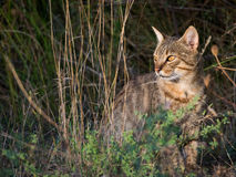 Iberian wildcat with beautiful eyes in the forest Stock Photo