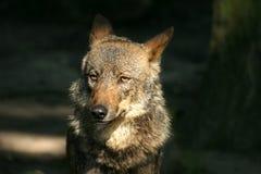 Iberian wolf. Straight awaked iberian wolf Stock Photo