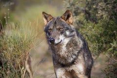 iberian wolf arkivfoton