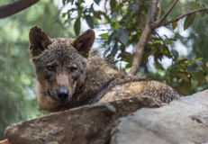 Iberian Wolf Royalty Free Stock Image