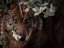 Iberian Wolf Canis lupus signatus hidden in the bush Stock Photography