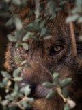 Iberian Wolf Canis lupus signatus hidden in the bush Stock Images