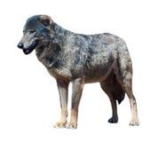 Iberian wolf Stock Image