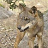 Iberian wolf (Canis lupus signatus) Royalty Free Stock Photography