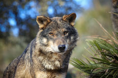 Iberian wolf Royalty Free Stock Photography