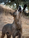 Iberian wolf howling in summer Stock Image