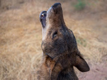 Iberian wolf howling in summer Royalty Free Stock Image
