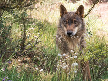 Iberian wolf lying down in the forest Stock Photo