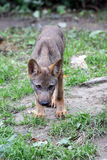 Iberian wolf pup Royalty Free Stock Photography