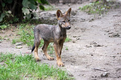 Iberian wolf pup Stock Photos