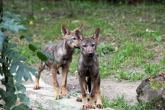 Iberian wolf pups Stock Photography