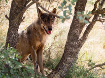 Iberian wolf between trees in the forest in summer season (Spain Royalty Free Stock Images