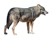 Iberian wolf on white background Royalty Free Stock Photography