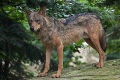 Iberian wolf (Canis lupus signatus). Royalty Free Stock Photo
